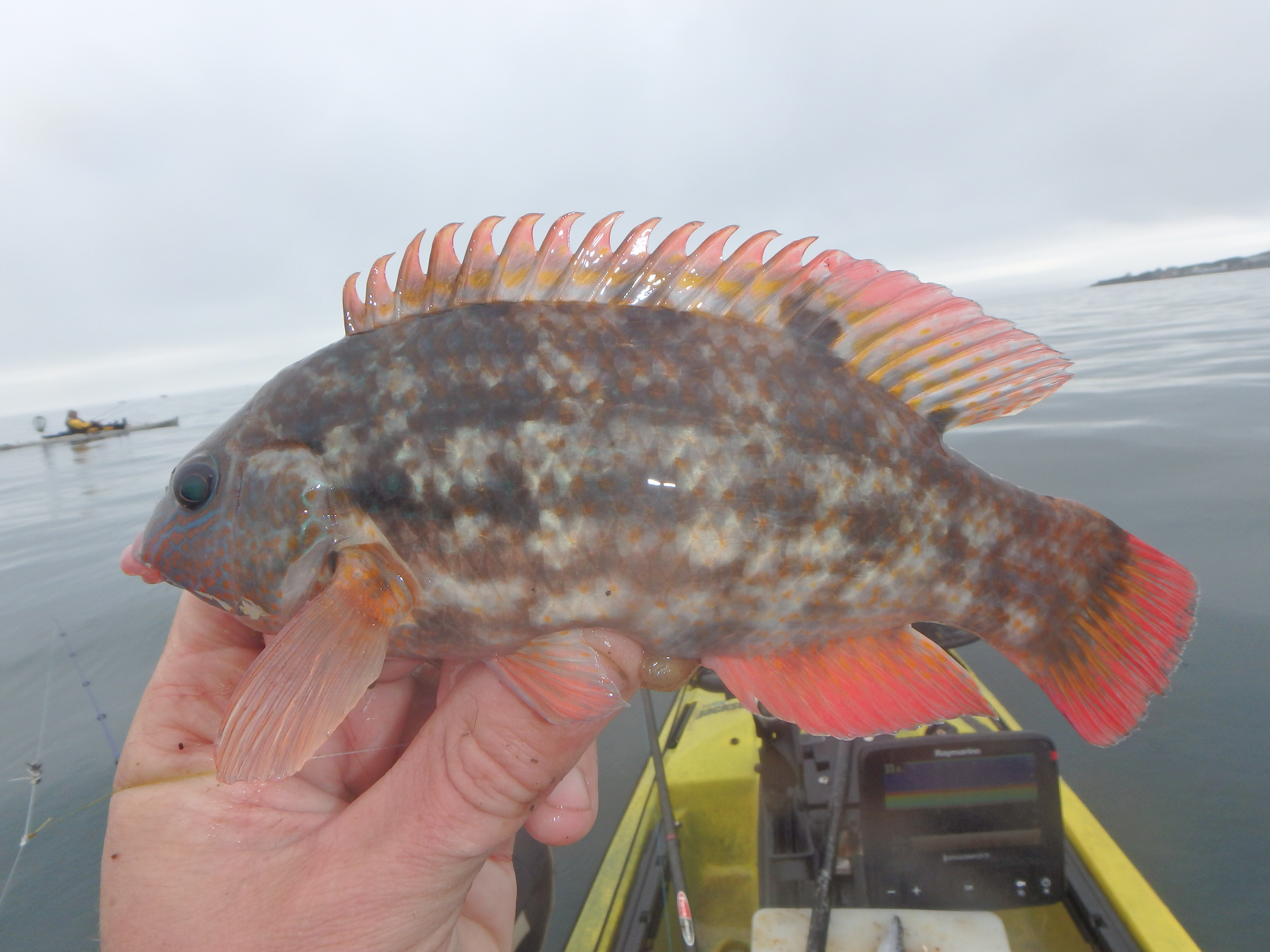 Another feisty, good looking wrasse for Mark.